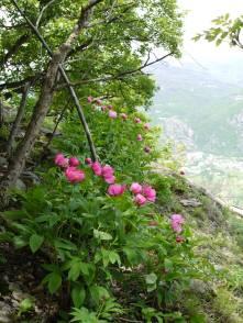 peonie-selvatiche-pirchiriano-3